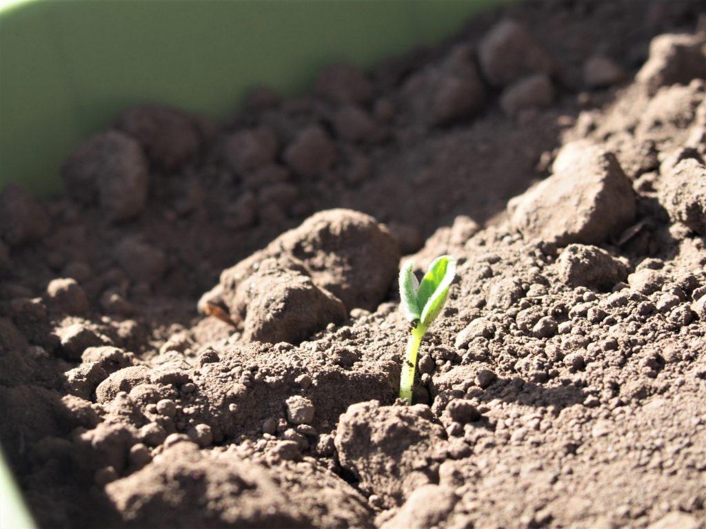ミニキエーロの土から生えてきた芽